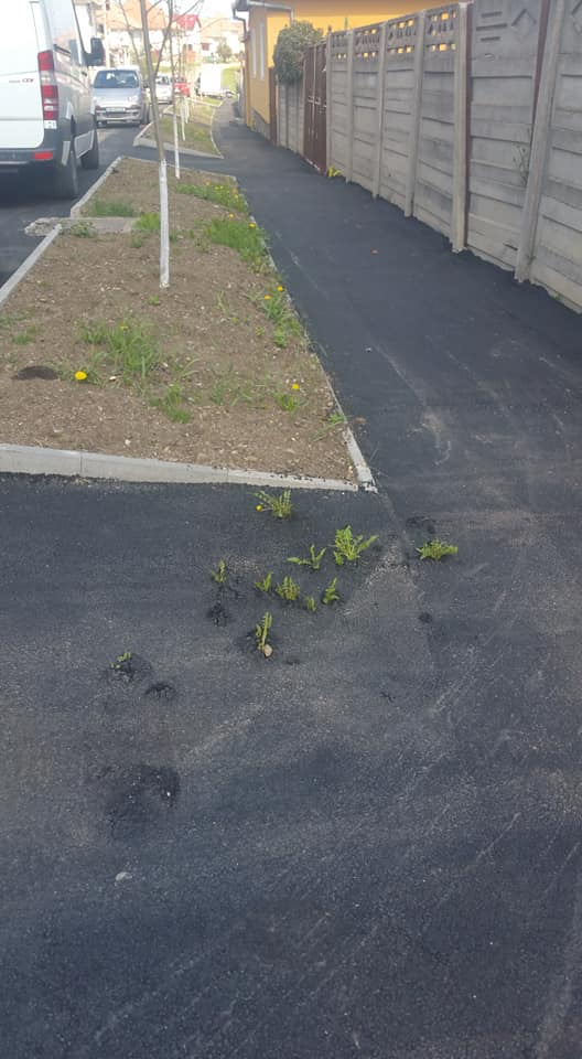 Păpădia învinge asfaltul din Cisnădie
