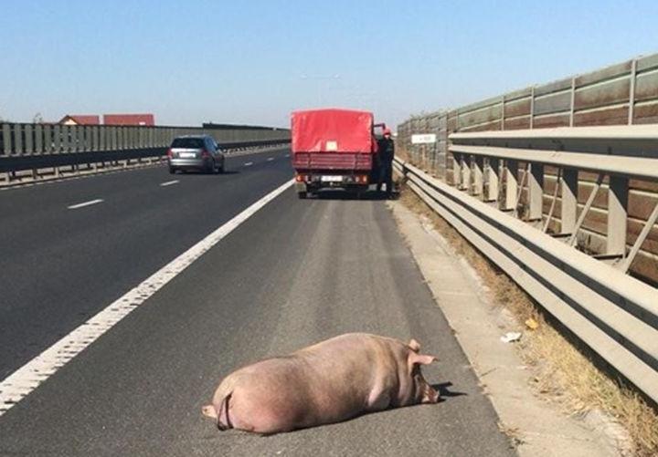 Porc pierdut pe A1 între Sibiu și Sebeș